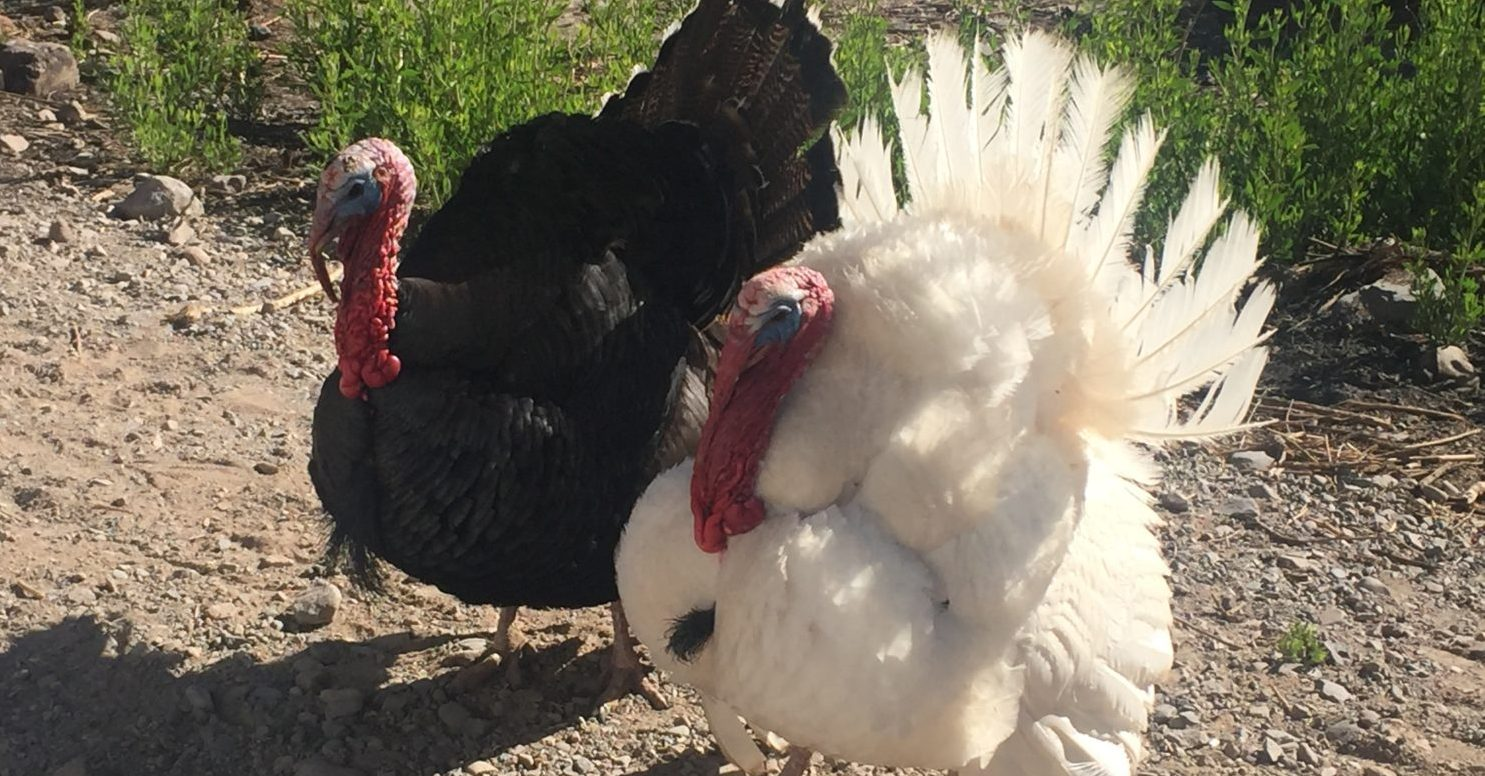 Turkeys, one black one white, with tails fanned out