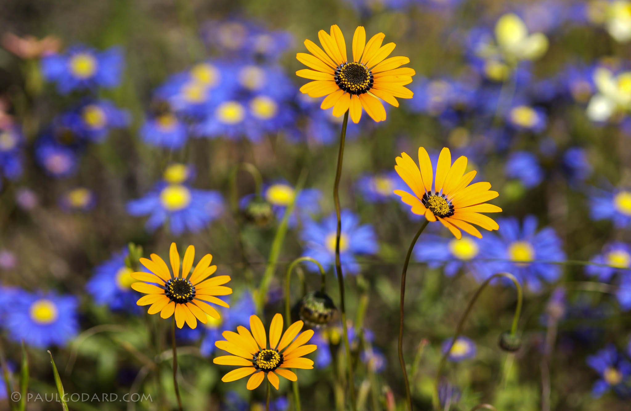 Brilliant yellow and blue African daisies by Paul Godard CC By-NC-ND.20