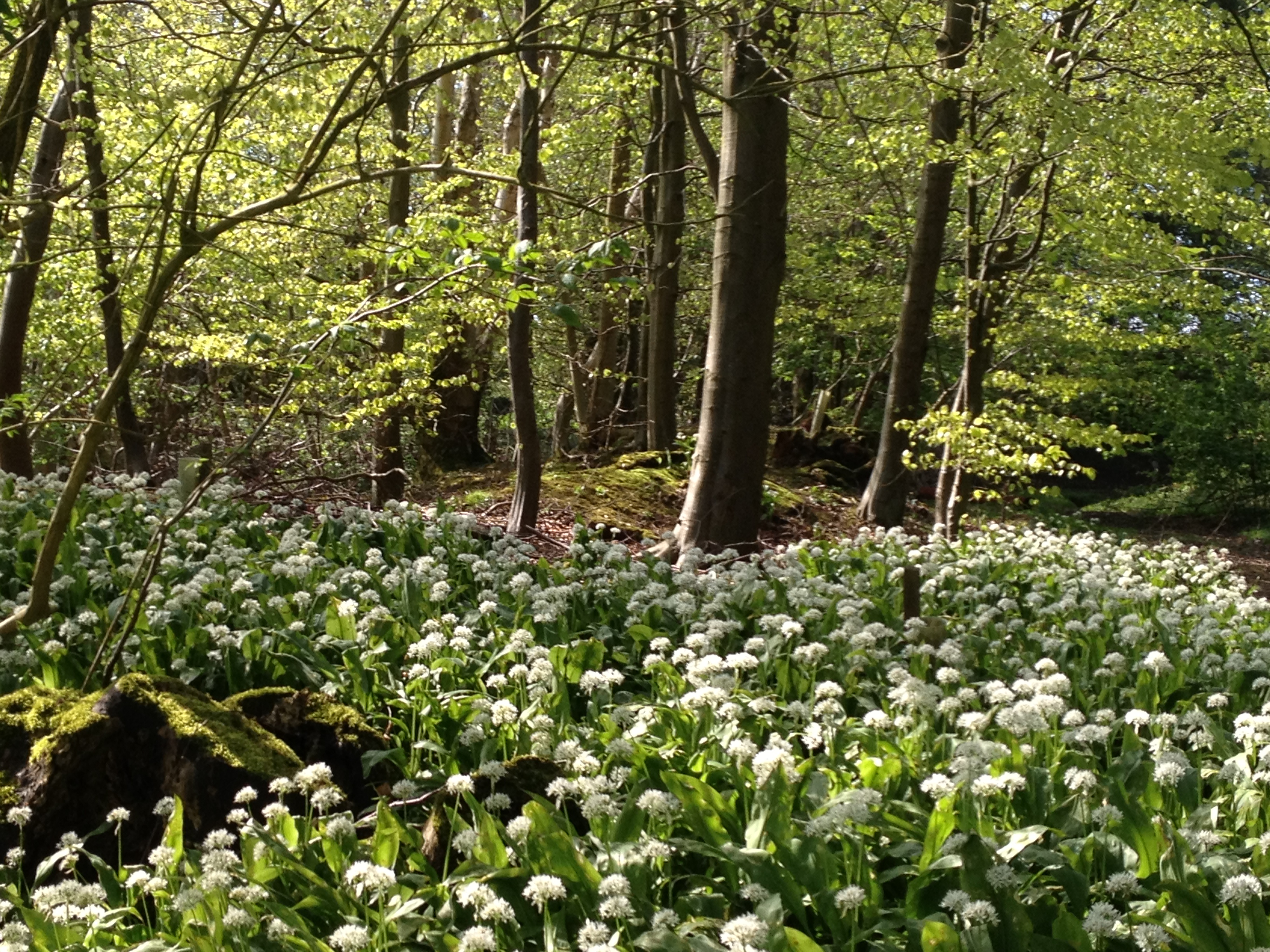 Beech wood bursting into life with wild garlic